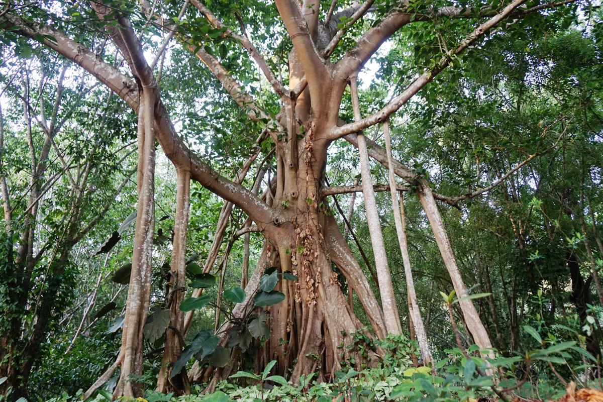 1929 Genomic study reveals evolutionary secrets of banyan tree