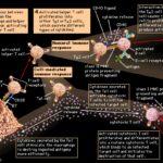 2377 The mechanics of the immune system